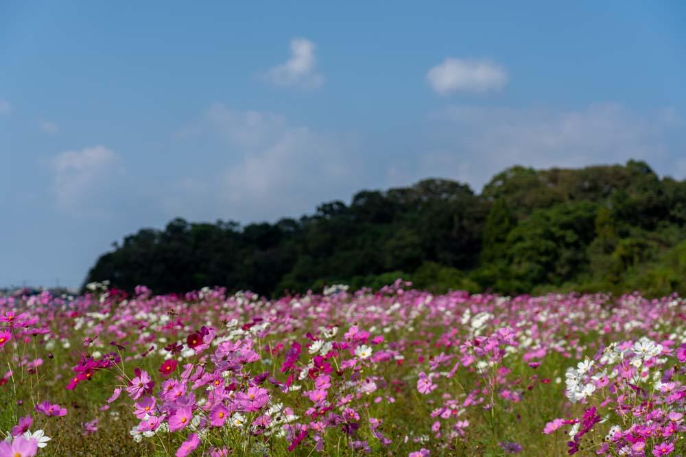西郷川花園のコスモス